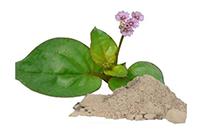 Boerhavia diffusa leaf extract (Пунарнава)
